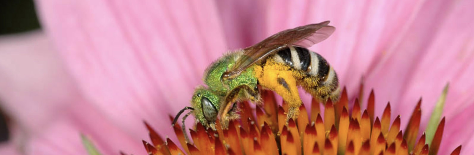 Welcome to BEEc;  bee ecology, evolution and conservation